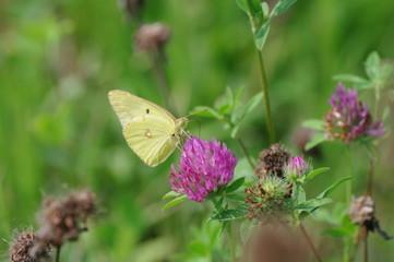 モンキチョウと紫爪草