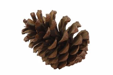 Kiefer, Pinus - Cone of a pine
