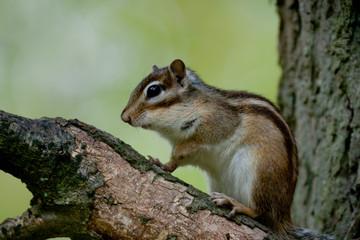 Ecureuil sur 3 pattes