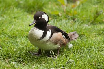 duck 8396