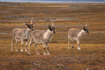 Three reindeers standing in tundra landscape, Spitsbergen