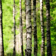 Spoed Foto op Canvas Berkbosje Birkenwald im Sonnenlicht 3