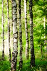 Spoed Foto op Canvas Berkbosje Birkenwald im Sonnenlicht