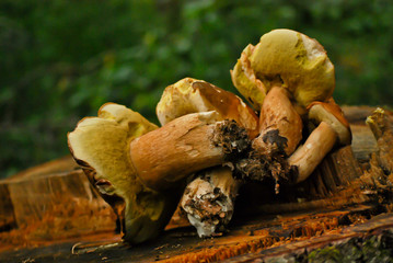 Freshly harvested mushrooms