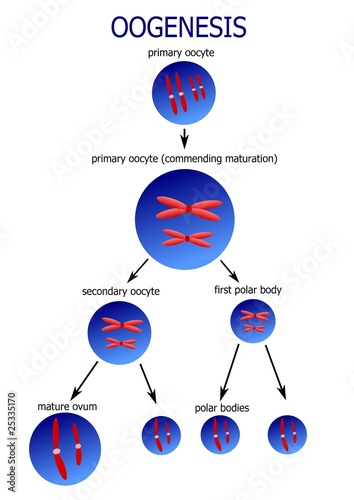 How many sex cells are formed in spermatogenesis sex cells anatomy and production thoughtco ccuart Image collections