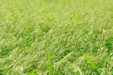 新潟平野の米作り