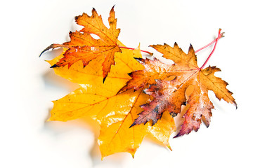 Three wet autumn leaves in yellow and brown