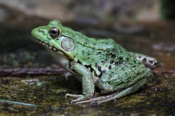 Bright Green Bullfrog