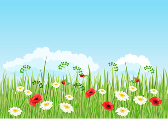 Summer daisy and poppy meadow. Vector background.