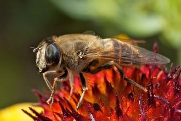 Biene auf farbenprächtiger Blüte^