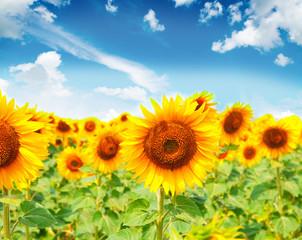 beautiful sunflowers with blue sky .Image