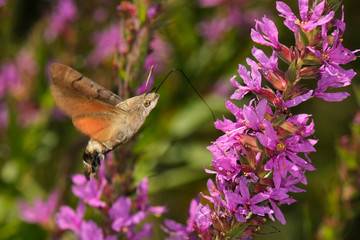 colibri moth