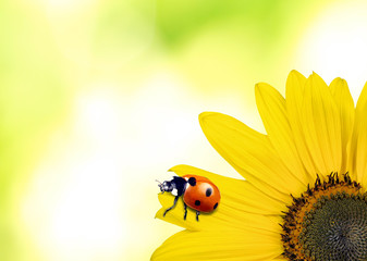 Beautiful ladybug on sunflower