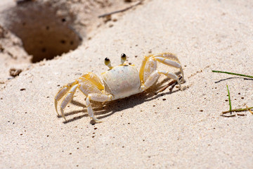Tropical Crab