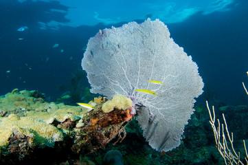 Sea Fan on a coral ledge in Broward County, Florida