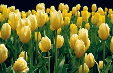 Flowers 2 (Yellow Tulips)