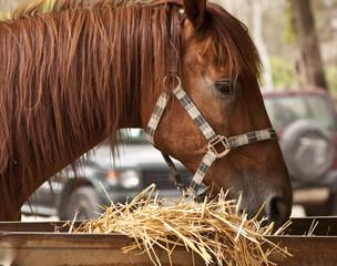 braunes pferd fressend