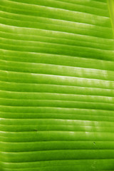 Structure of fresh green leaf of a plant with proveins