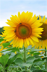 Sonnenblume - Portrait