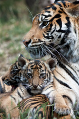 Tiger cubs with mum