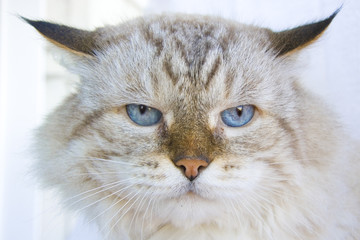 Angry cat with blue eyes
