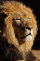 Fotobehang Leeuw African lion portrait