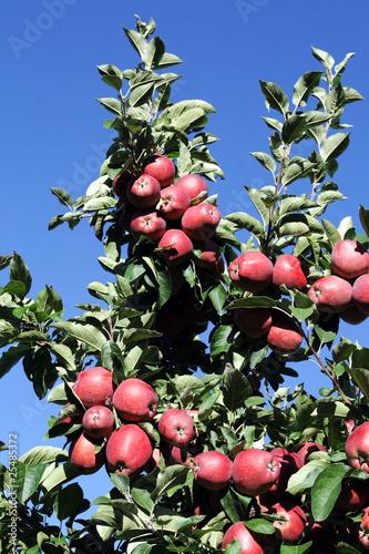 Immagini di mele rosse - Immagini stampabili di mele ...