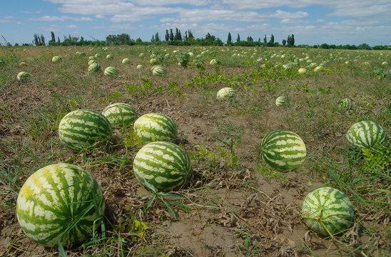 Water-melons in the field