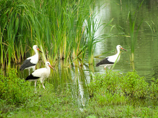 Three Storks in the river