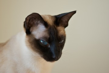 Siam Cat