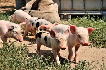 little piglets on a farm in summer