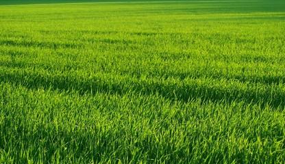 Lush green sunlit field