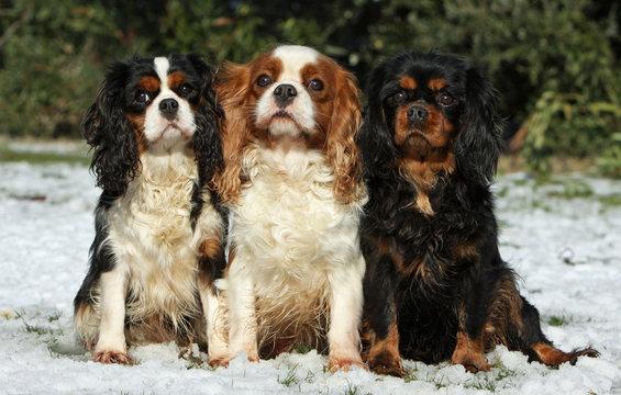 three cavalier king charles spaniel together
