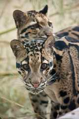 Clouded leopards