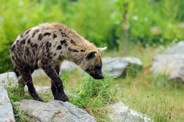 Photo sur Plexiglas Hyène hyène tachetée