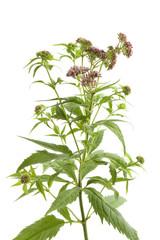 Fresh flowering hemp agrimony