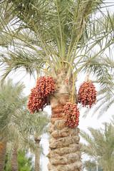 Orange, reddish brown and dark brown ripen dates