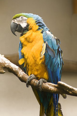 large parrot