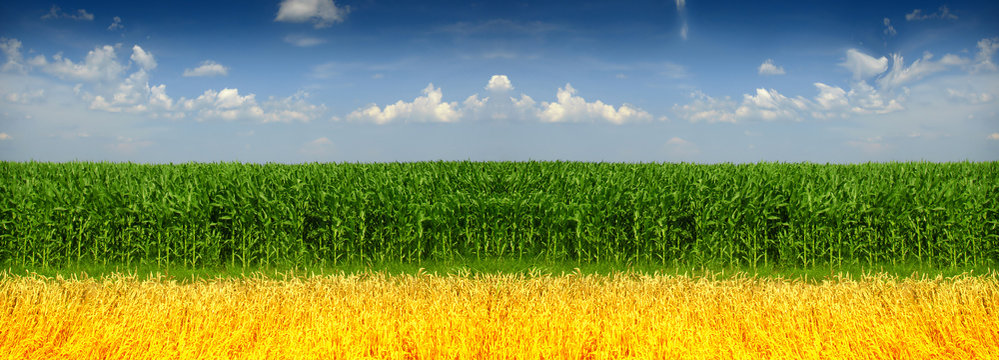 corn and wheat field against blue sky