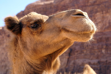 Poster Kameel Camel head