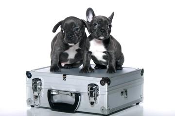 Zwei Bullywelpen auf einem Koffer