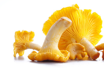 Fototapeta Isolated yellow chanterelle obraz