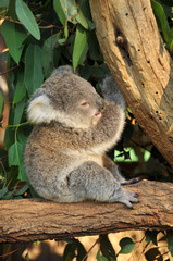 Koala joey sits on a tree