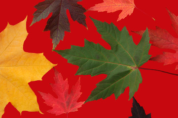 Autumn leaves on red