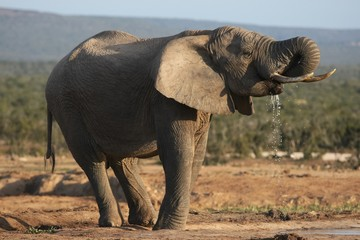 African Elephant Bull Drinking
