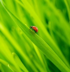 Ladybug on a fresh grass