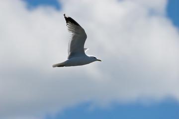 Gull in the sky over Onezhskoe lake