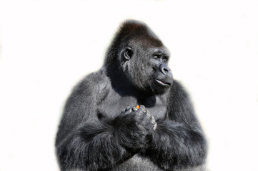 Gorilla isolated in white