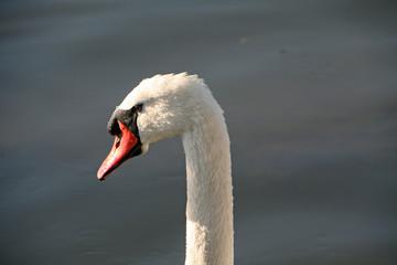 Poster Swan swan