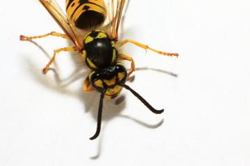 Makroaufnahme Biene